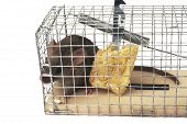 pic of mouse trap  - Scoop or mouse trap with a mouse trapped with a piece of bread - JPG