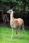 stock photo of lamas  - Portrait of a Guanako llama  - JPG