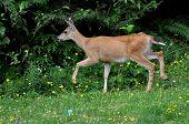 picture of mule  - A young mule deer running across the meadow - JPG
