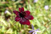 picture of cosmos flowers  - Strange brown flower of the Cosmos Atrosanguineus - JPG