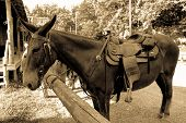 picture of mule  - is it a horse or a mule - JPG