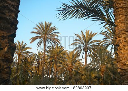 Palm Tree Forest In Elche. Oasis. Alicante, Spain