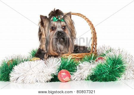 Yorkshire Terrier In Wicker Basket