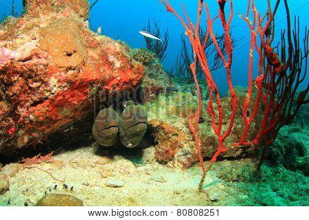 Two Giant Moray Eels
