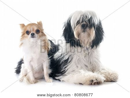 Tibetan Terrier And Chihuahua