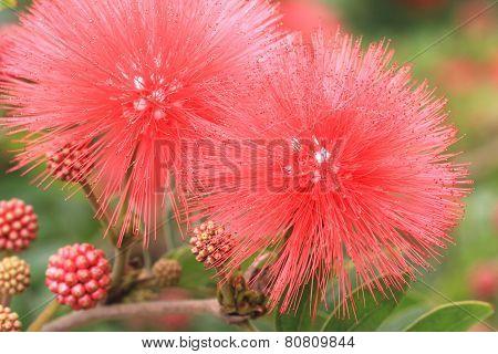 Red Powder-puff,Red-headed Calliandra,Surinam Calliandra