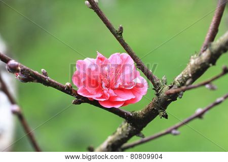 Plum flower,Flowering plum