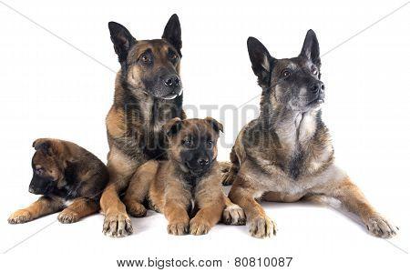 Family Malinois