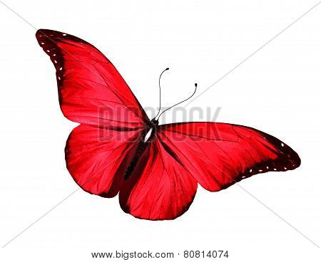 Morpho Red Butterfly , Isolated On White