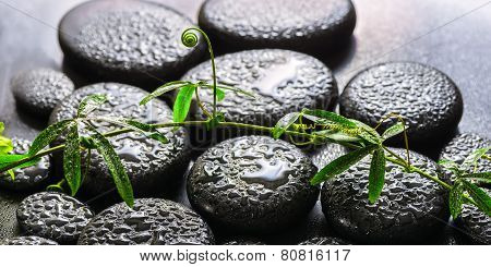 Spa Background Of Green Branch Passionflower With Tendril On Zen Basalt Stones With Dew, Panorama