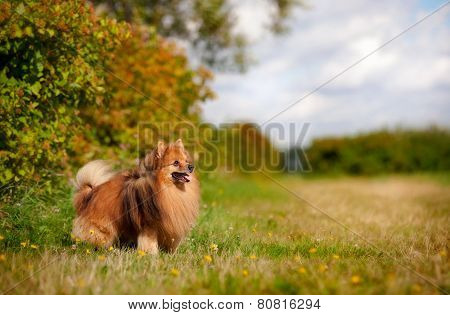 Pomeranian Dog On The Field
