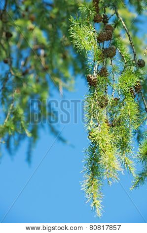 Larch with cones