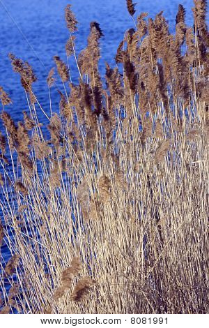 Scirpus In A Pond