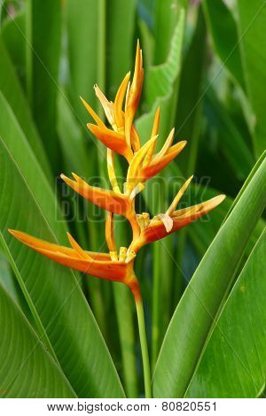 Heliconia (parakeet Flower)