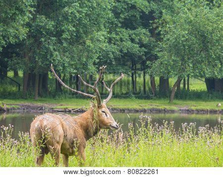 Father David's Deer during rut