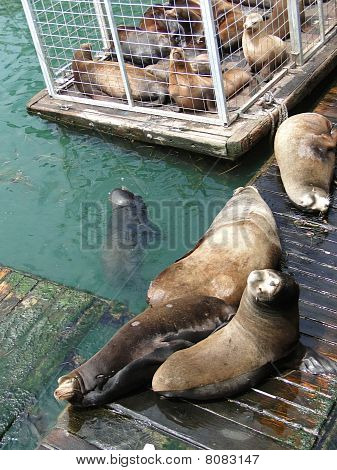 California Sea Lions On Wharf