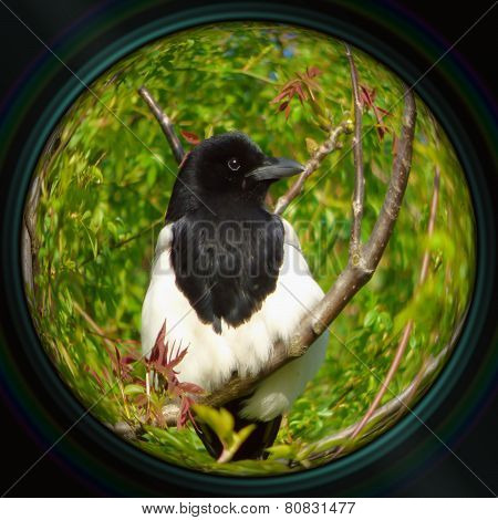 Magpie On Tree Branch In Objective Lens