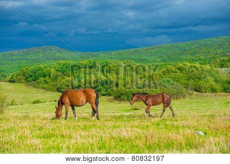 Dark Bay Horses