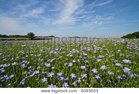 Field Of Linseed Or Flax In Flower