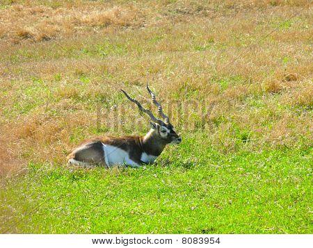 Roan Antelope Sitting
