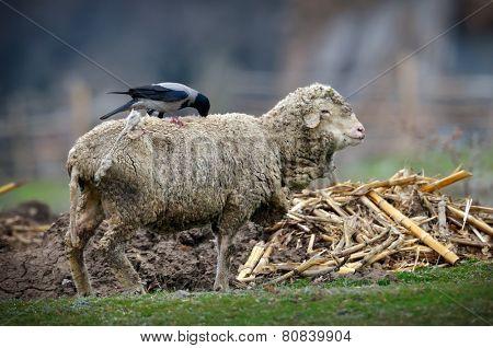 crow pulling wool from sheep (corvus frugilegus)