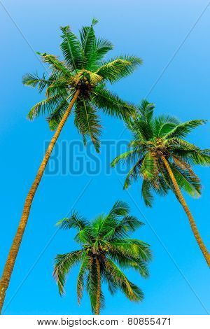 Three Green Coconut Palms With Nuts On A Background Of Sky