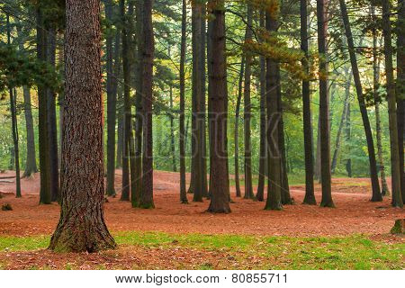 High Coniferous Evergreen Trees, Beautiful Landscape