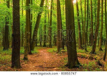Morning Sun Streaming Through The Forest Vegetation