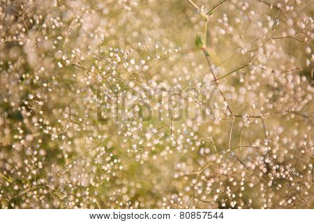 Natural Background Of Small White Flowers