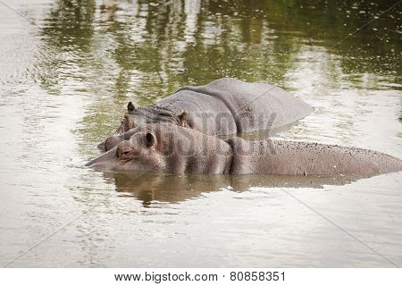 Hippos, Hippopotamus