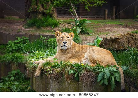 UK, England, London - 5 May 2013: Lovely lioness at the zoo