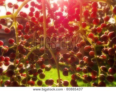 Berry Sunset