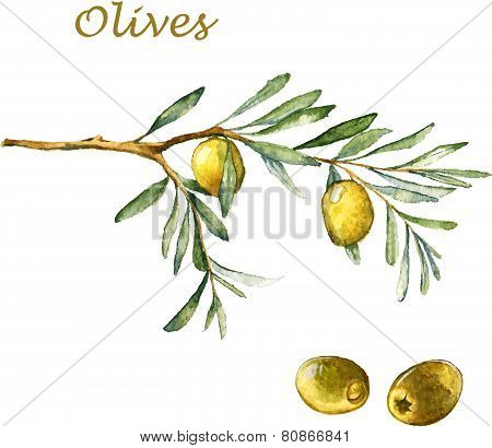 Watercolor illustration with green olives and olive branch