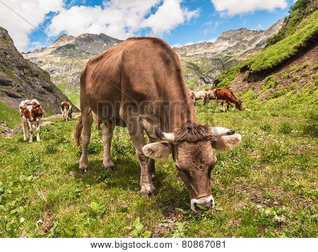 Cow Eating Grass In Swiss Alps