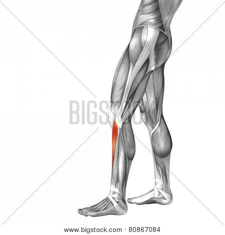 Concept or conceptual 3D tibialis anterior human lower leg anatomy or anatomical and muscle isolated on white background