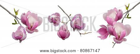 Branches Blooming Magnolia Isolated