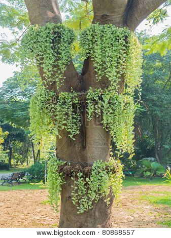 Green Creeper Plant On The Big Tree