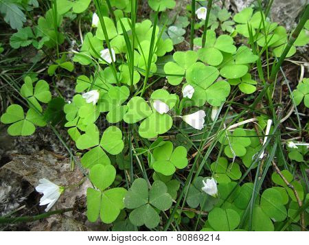 Flowering wood sorrel