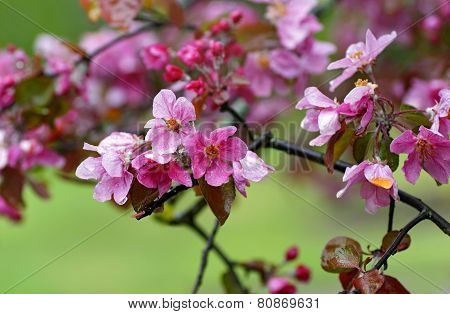 Blossoms In Apple Tree Garden.