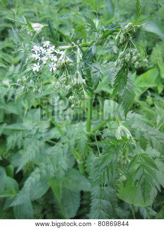 Umbelliferae plant