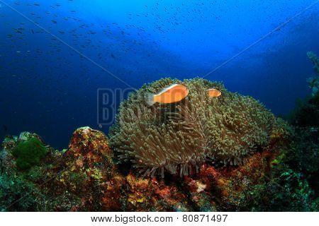 Anemones and Clownfish on coral reef underwater