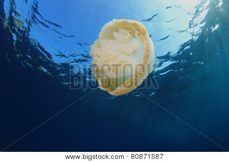 Large pelagic jellyfish with fish inside