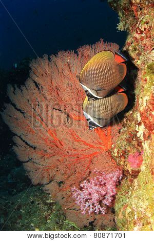 Pair of Red tail Butterflyfish on coral reef