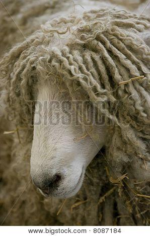 Shaggy sheeps head