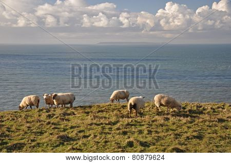 Sheep At Baggy Point