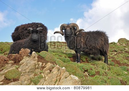 Black Hebridean Ram And Ewes
