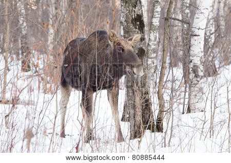 Elk without antlers