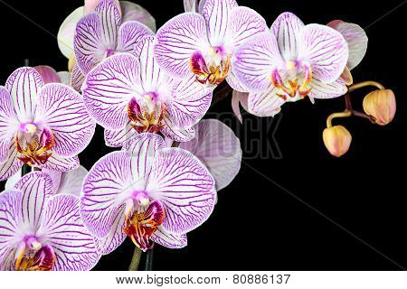 Phalaenopsis Orchid Branch Isolated On Black