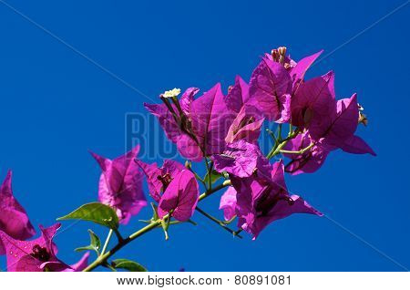 Branch Of Flowering Bougainvillea In Bloom Against Clear Sky