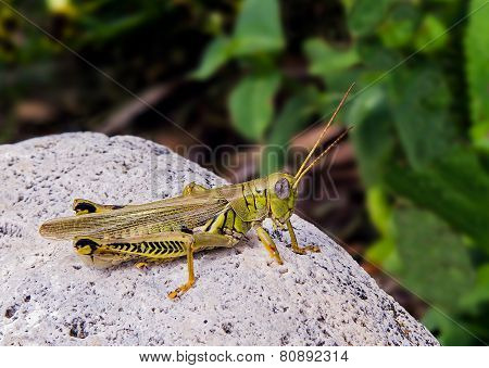 Grashopper On White Stone